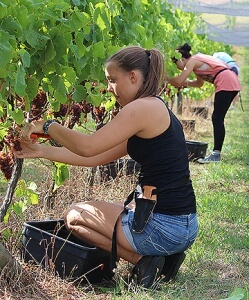 Wine grapes hand-picker