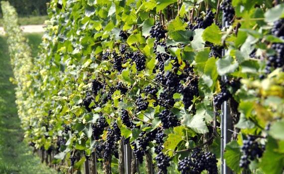 Low Yield Vineyards
